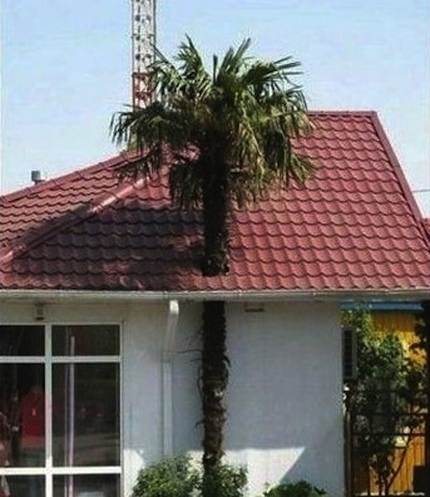 palmera atravesando el techo de una casa