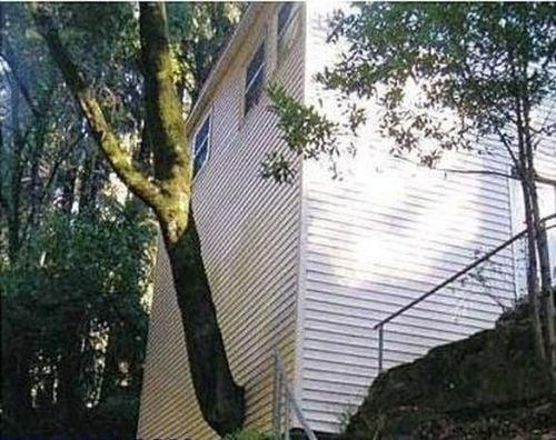 árbol atravesando la pared de una casa