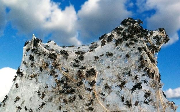 nido de arañas en su telaraña