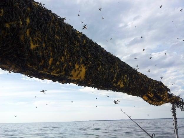 escarabajos soldado en el palo de un barco