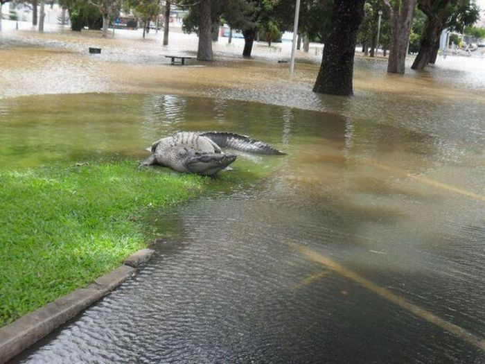 cocodriol en las calles de Australia