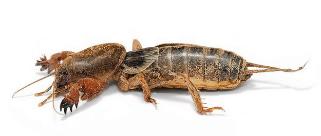 inseto gigante