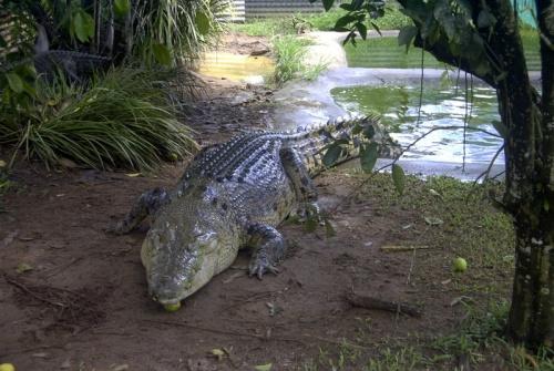 cocodrilo en un estanque