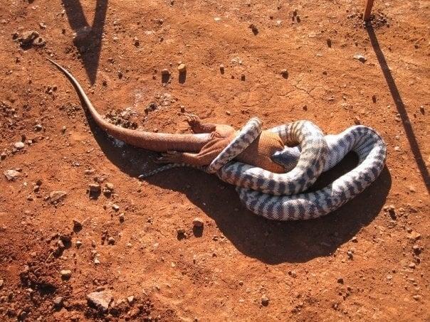 serpiente comiéndose un lagarto