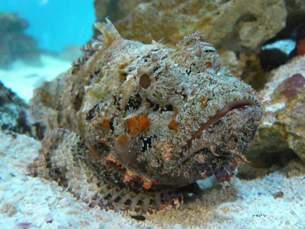 pez piedra en el mar