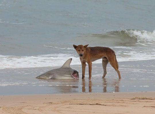 tiburon a la mitad en la orilla de la playa con un zorro a su lado