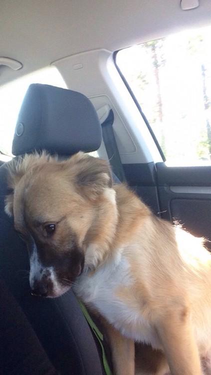 perro escondiendose asustado en el asiento trasero
