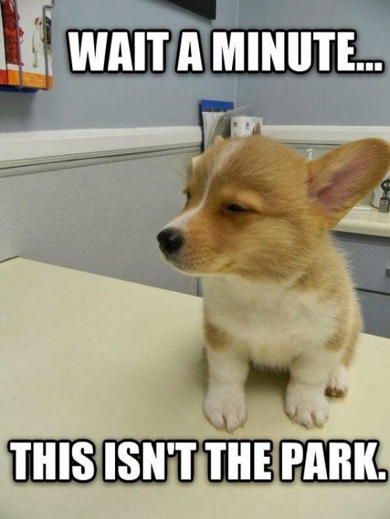 perro colie esperando ser atendido en la veterinaria