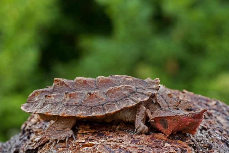 tortuga que tiene un caparazón como si fuera una roca