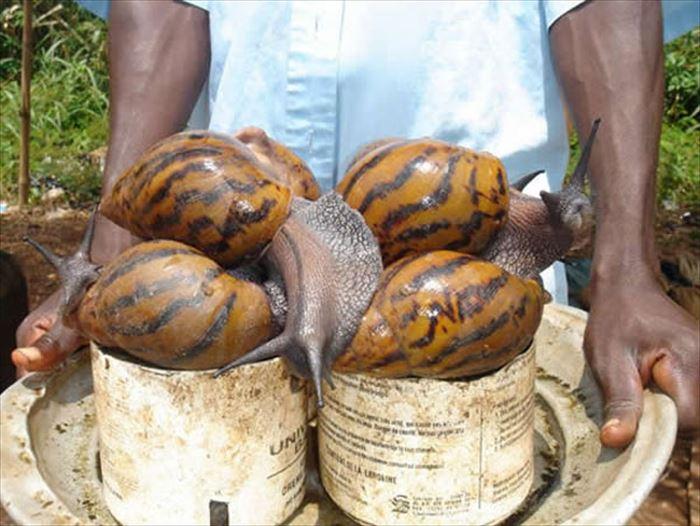 Manos de un hombre sosteniendo una bandeja con caracoles gigantes en unos pequeños botes