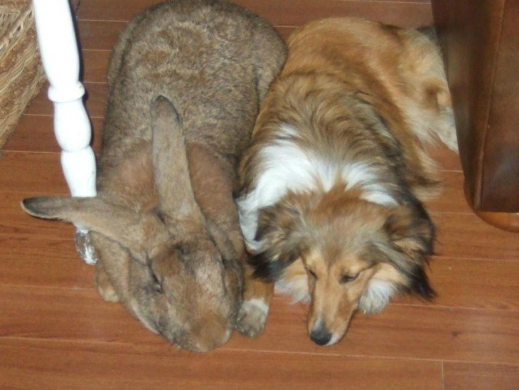 Conejo de enorme tamaño a un costado de un perro