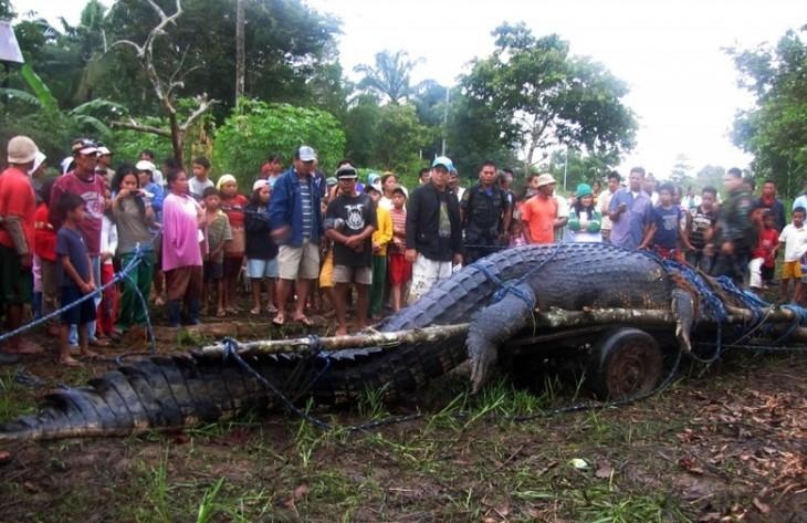 Gente reunida alrededor de un cocodrilo extremadamente largo capturado