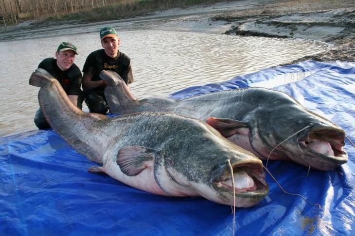 Dos personas sujetando la cola de dos peces gato chinos