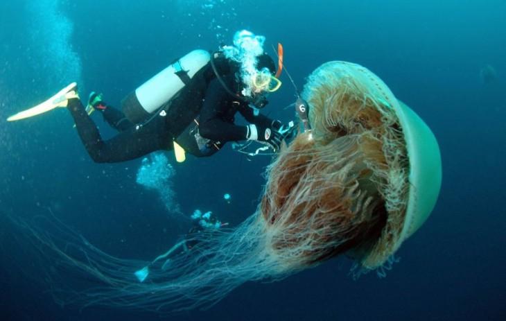 Una buzo cerca de una medusa Nomura considerada una de las más grandes de su especie