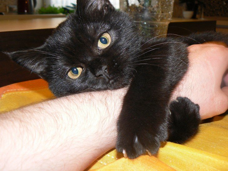Gato negro abrazando el brazo de su amo