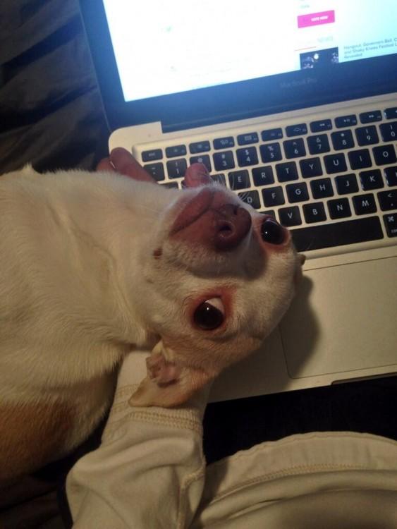 Perro chihuahua con la cabeza arriba de una laptop