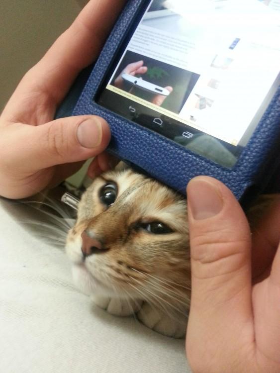 Gato con la cabeza abajo de un celular