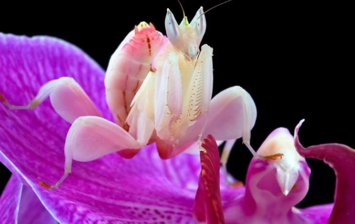 Mantis religiosa sobre una flor simulando ser parte de la flor
