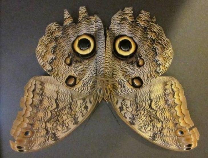 Esta mariposa parece que es una lechuza