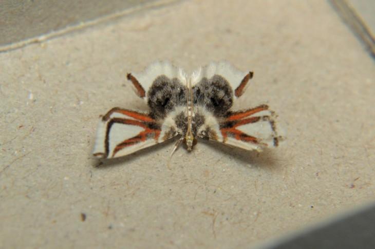 Polilla que sus alas pareciera que tienen patas de araña