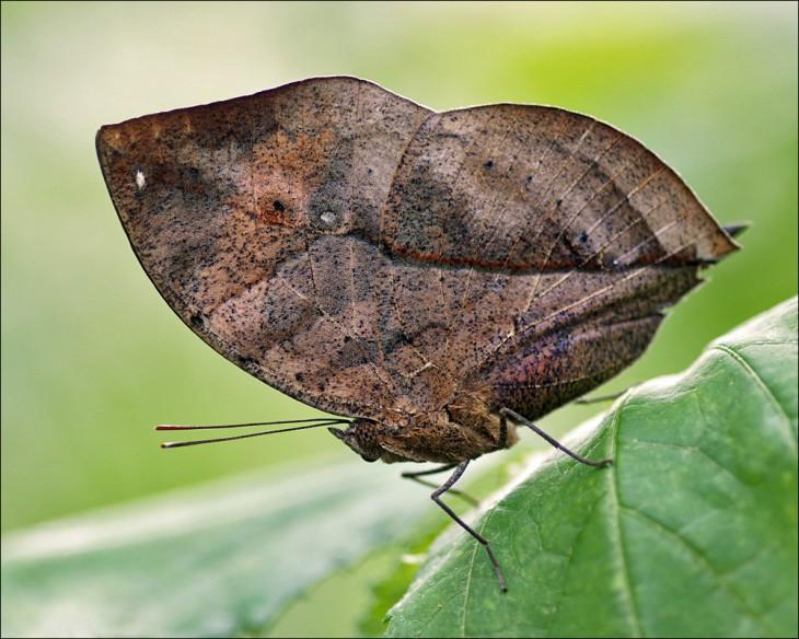 Mariposa sobre una hoja que sus alas parecen ser una hoja seca