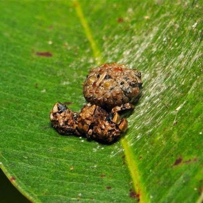 Una araña que parece ser una popo sobre una hoja verde