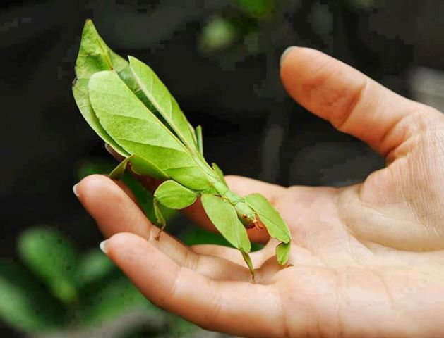 Mantis con apariencia de una hoja verde de alguna planta sobre la mano de una persona