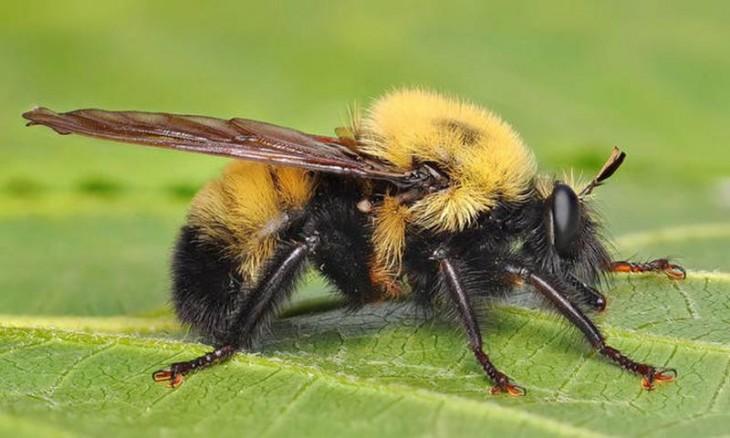 Mosca con forma y colores de abejorro