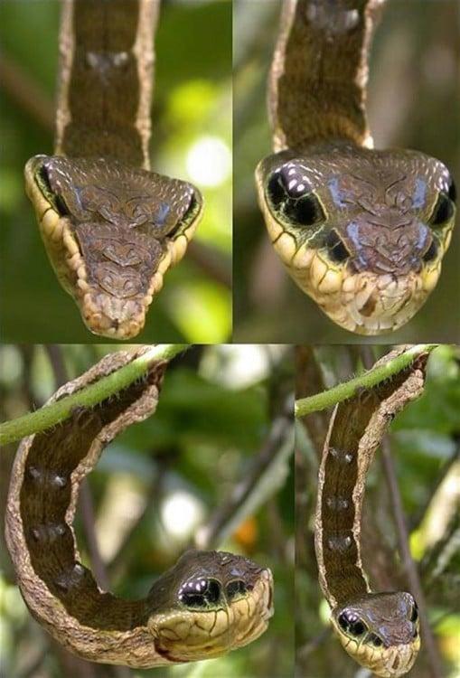 Imagen dividida en cuatro segmentos mostrando una oruga con un singular parecido a una serpiente