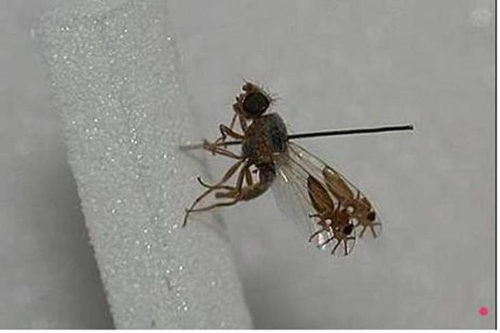 Araña que tiene alas transparentes que en la punta simula tener dos arañas atrapadas