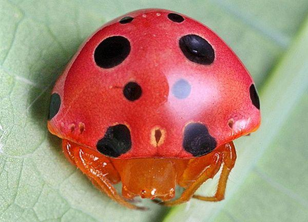 Araña que simula ser una mariquita con caparazón rojo y manchas en color negro