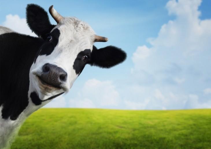 Cabeza de una vaca en un campo