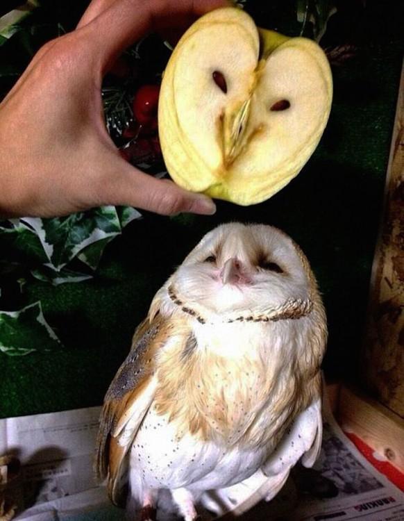 Pedazo de manzana con cara de Búho sobre un búho real