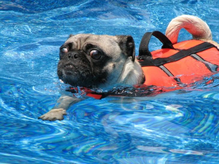 Pug nadando con un chaleco salvavidas