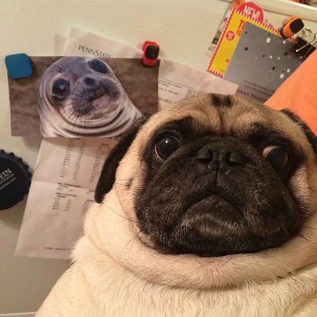 perro pug colándose en la foto de una foca