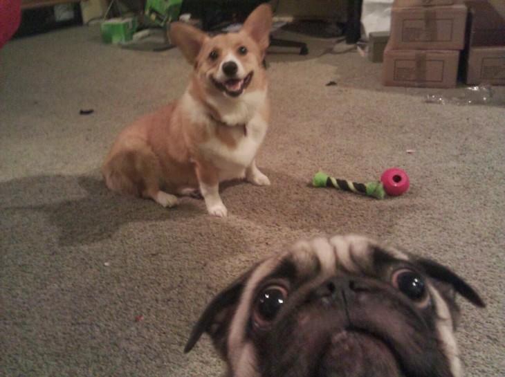 perro pug colándose en la foto de otro perro