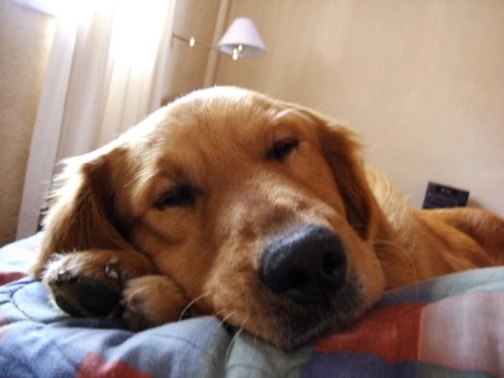 perrito golden dormido en la cama de su dueño