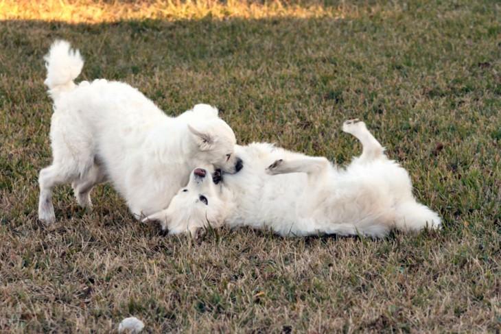 perros blancos jugando en el jardin