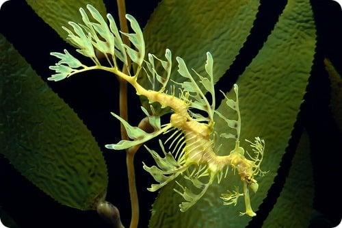Imagen que muestra a un dragón de mar