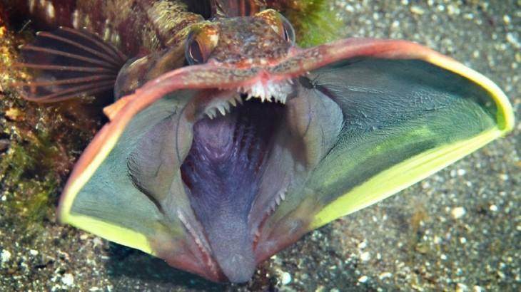 Pez cabeza de flecos abriendo su boca