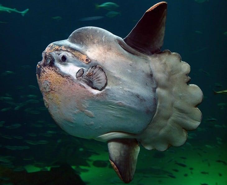 Mola mola, pez conocido como el más obeso del mar