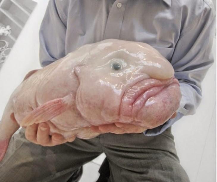"""Pez demasiado feo denominado """"Blobfish"""""""