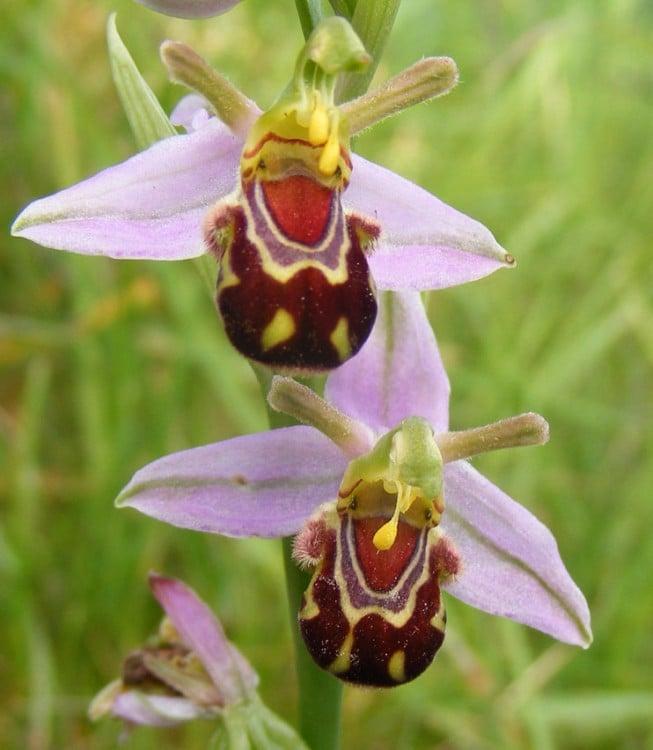 Imagen con una orquídea que parece dos avejas riendo