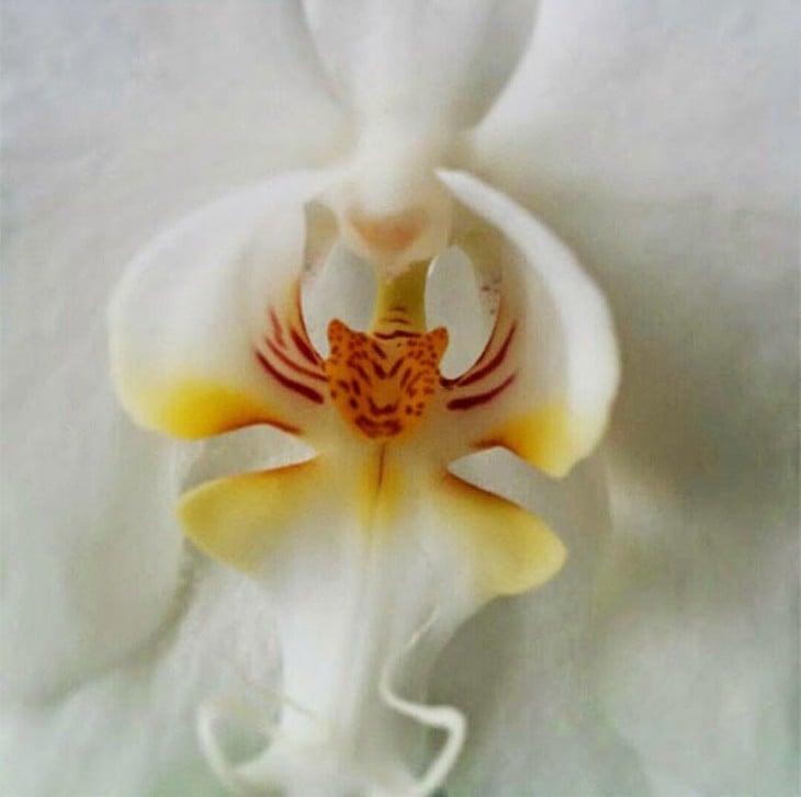 Orquídea que al centro forma una cara de tigre