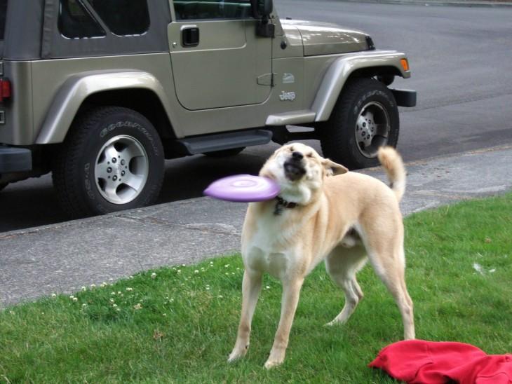 perro que le pega un frisbee en la cara