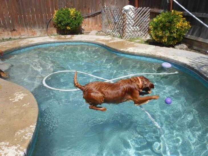perro que aprece que vuela en la piscina