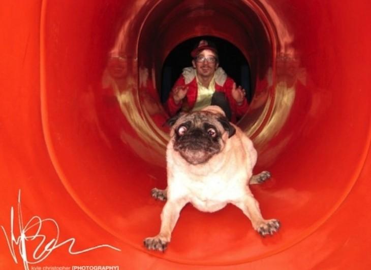 perro pug en un tobogan con cara de miedo