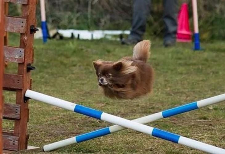 perro saltando vallas sin piernas