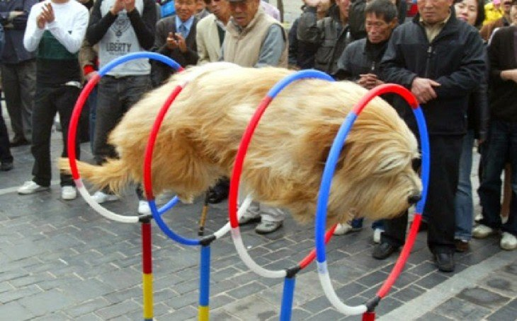 perro felpudo pasando por aros