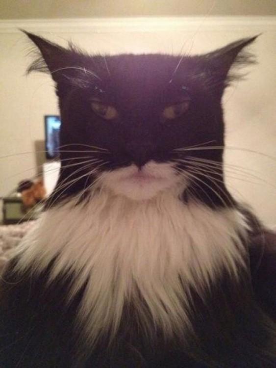 Cara de gato negro con mancha blanca en el pecho y con un cierto parecido al superhéroe Batman